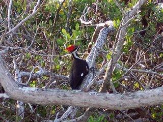 Pileated Woodpecker, Sanibel Island, Florida; Photography by Troy Thomas