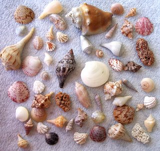 Shells from island of Sanibel, Florida; Photography by Troy Thomas