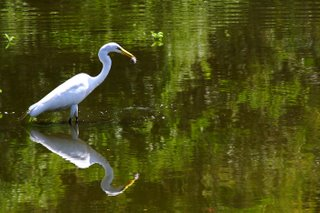 Great Egret; Six Mile Cypress Slough Preserve