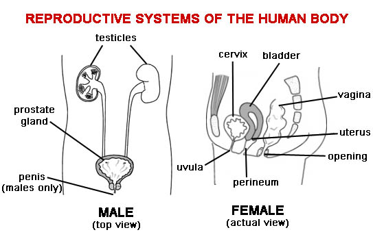 essay on human reproductive system The human reproductive system requires both the female and male to procreate although the reproductive organs will function separately, they will not create another.