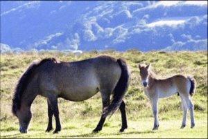 ENDANGERED Exmoor ponies
