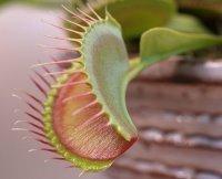 How Carnivorous plants set traps