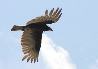 Nepal makes drug to halt vulture decline