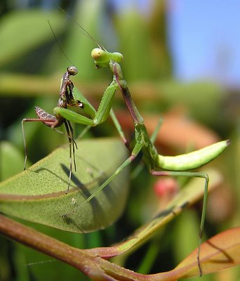 El último baile del Mantis