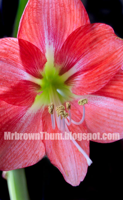 Amaryllis clearance bulbs mrbrownthumb for Bulbes amaryllis conservation