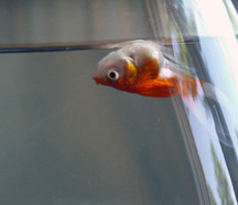 Creative type dad goldfish tragedy at the petco for Feeder fish petco