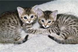 These kittens were grown from a cloned cell. They are identical in every way.
