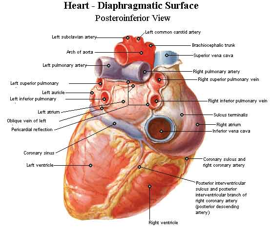 heart2.0 all about heart heart disease disease that affect the heart and