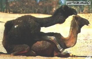 Funny Picture - The Humping Camel