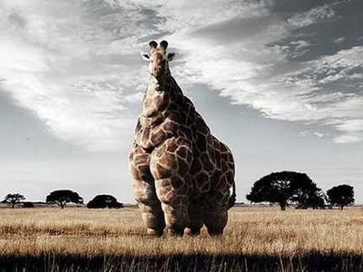 Fat giraffe , McDonalds now in Africa