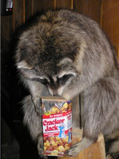 raccoon with crackerjacks