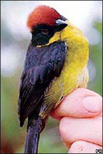 Yariguies Brush Finch