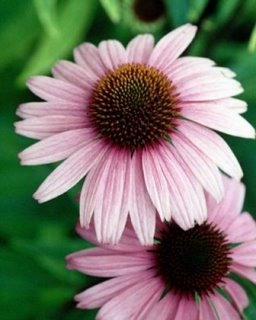 echinacea herbal remedy natural plants medicinal holistic healing and preventive medicine