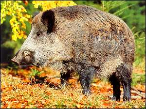 alentenjo wild hog from portugal