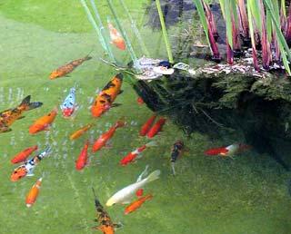El redestopista en japon nishikigoi for Plantas para estanque peces koi