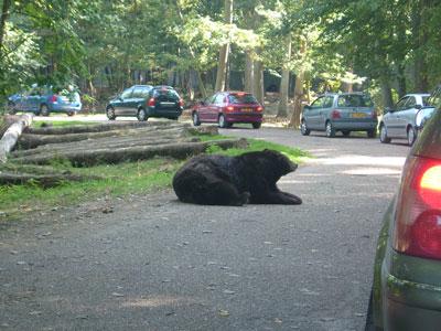 un ours regarde passer des voitures