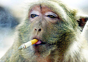 This monkey knows how to use a lighter? I'm not sure I want to give them that much power.