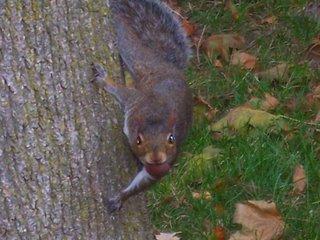 Eastern grey squirrel with nut