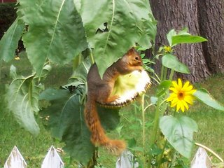 Squirrel sitting on a suflower head