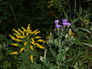 Goldenrod and wild astor