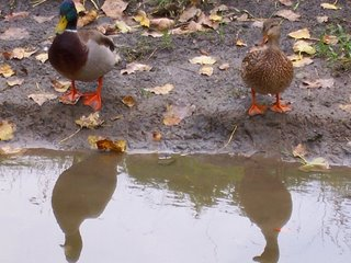 A. platyrhynchos - a pair mallard ducks
