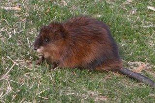 Muskrat in Toledo's Foxglove Meadow park