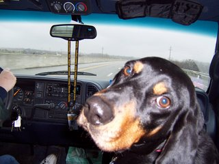 Male coon hound