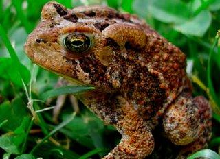 Common American toad Bufo americanus
