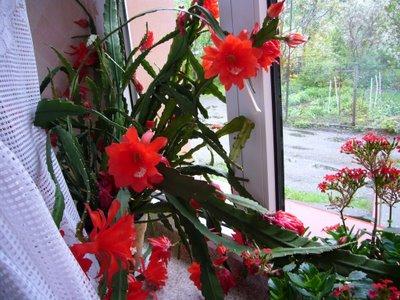 kaktusy kwitnące