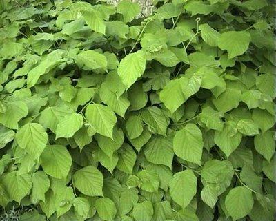 lipa liście