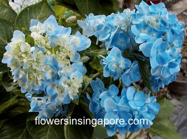 The Flowers Are Blue For A Change These Were In My Garden Some Years Back When Kids Still Small Today I Bought Book Led Plants That Heal