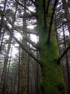 Il muschio sugli alberi ...