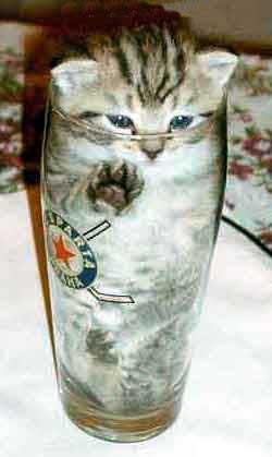 Kitten in a pint
