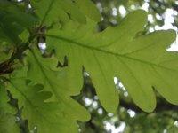 verde, carballo, roble, carvalho