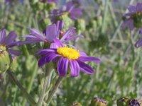 flor, morado, Aguieira