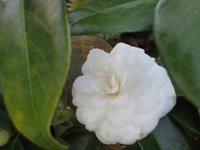 flor branca, camélia
