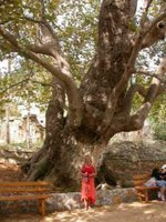 An old chestnut tree at therisso
