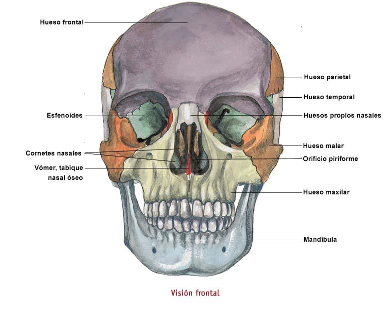 Apuntes y tareas de odontología: El cráneo humano