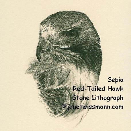 How to Draw a Hawk Head Step by Step Hawk Head Drawing Hawk Head