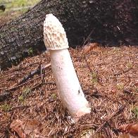 phallus in forest