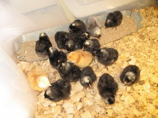 16 in brooder