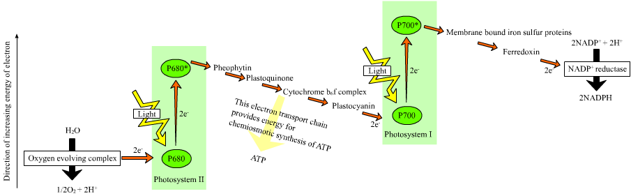 Photosynthesis photophosphorylation the cytochrome b6 f complex acts as an electron transfer chain as the electrons release energy during a series of redox reactions protons are pumped into ccuart Gallery