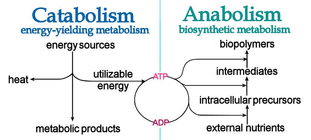 proteins anabolic vs catabolic state