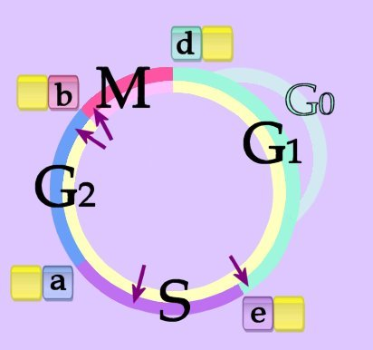 Cell Cycle Animation Related Keywords & Suggestions - Cell Cycle ...
