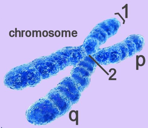 biology chromosome In eukaryotes, the chromosomes appear as threadlike strand that condense into thicker structures and aligns on the metaphase plate during mitosis.
