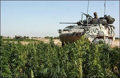 afghanistan marijuana plants