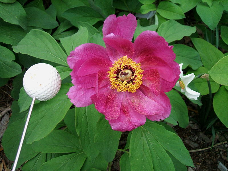 Peonies and the rest keeping myself confused paeonia for Paeonia officinalis