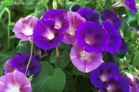 Take 4 6 Grams Of Morning Glory Seed Crush Them Soak Them In 1 2 Cup Water For 30 Mins Drink Seed And Water Gives Lsd Effect