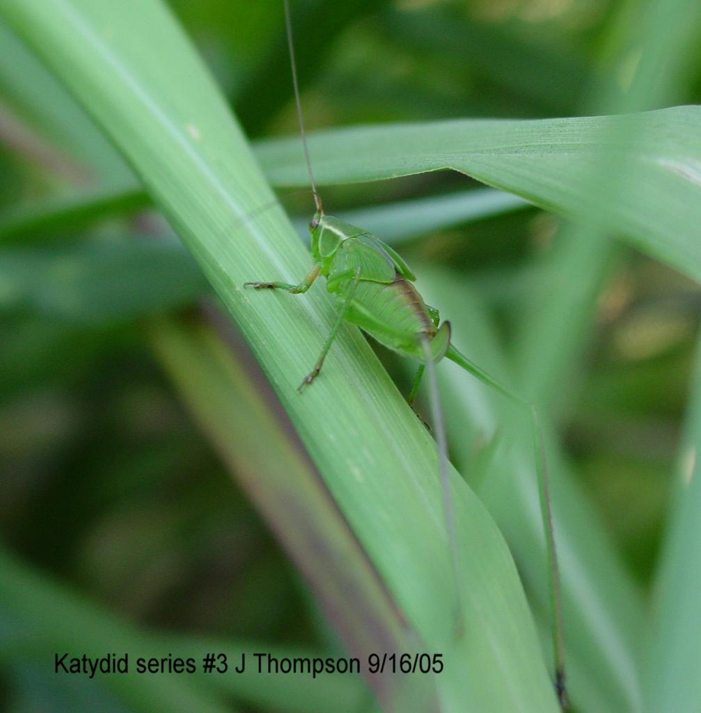 Katydid Life Cycle