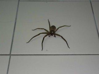Araignée dans ma cuisine